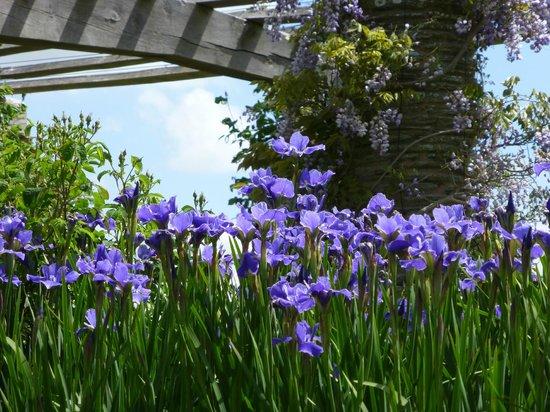 Hestercombe Gardens: wisteria and irises