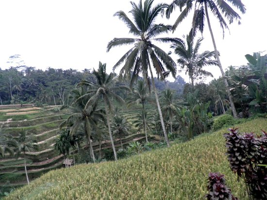 Tegalalang Rice Terrace: Coconut trees