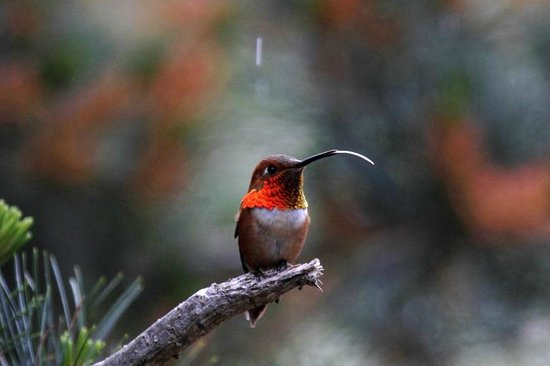 Otters Pond Bed and Breakfast: Rufous Hummingbird