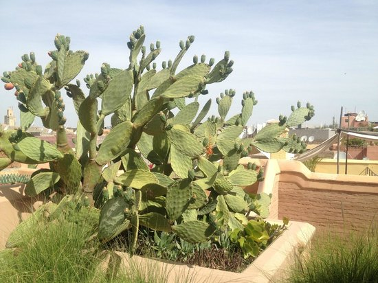 Dar Housnia: cactus on the roof