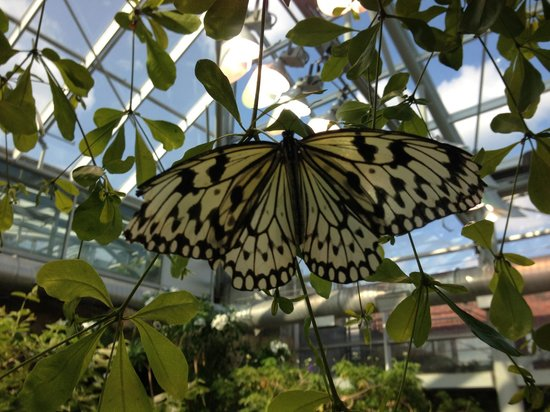 Paper Kite Butterfly Picture Of Tennessee Aquarium