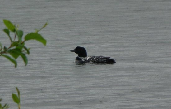 Tall Timber Lodge: The loons!!
