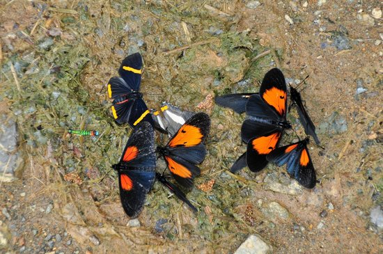 Eje cafetero (Zona Cafetera): Mariposas
