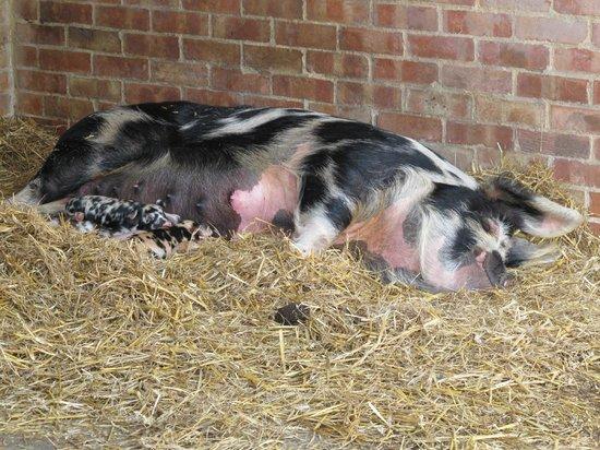 Old MacDonald's Farm: Piglets drinking milk