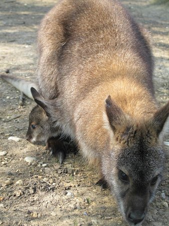 Old MacDonald's Farm: Wallaby Mommy and Baby