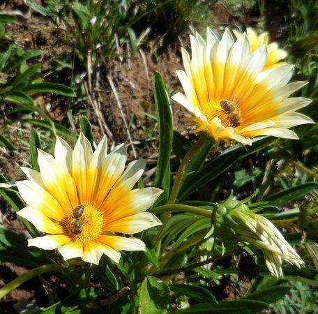 Santo Antonio do Pinhal, SP: Abelha na Flor