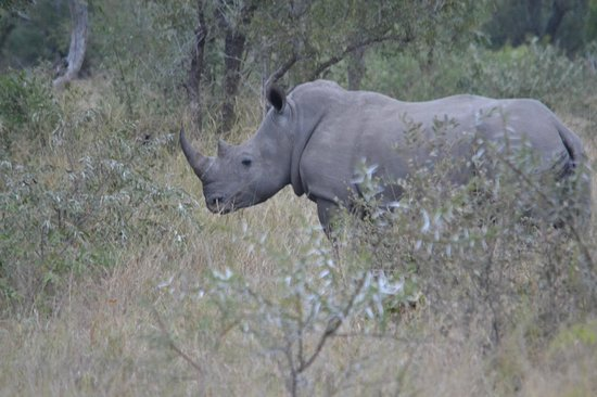 Kambaku Safari Lodge: rhino