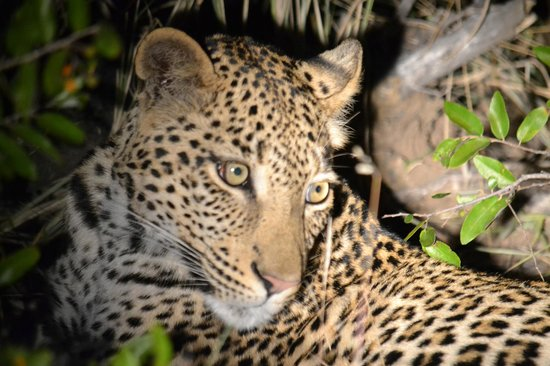 Kambaku Safari Lodge: leopard