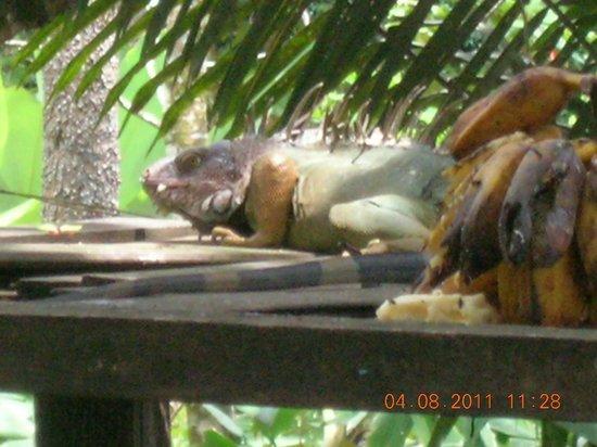 Las Islas Lodge : Large iguana on the bird feeding platform