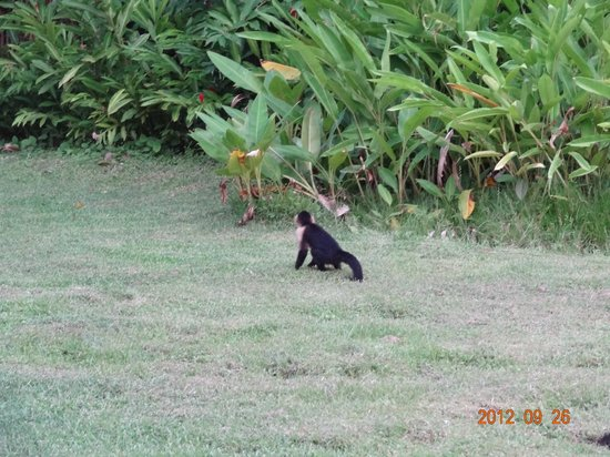 Hotel Karahe: Monkey walking in the garden