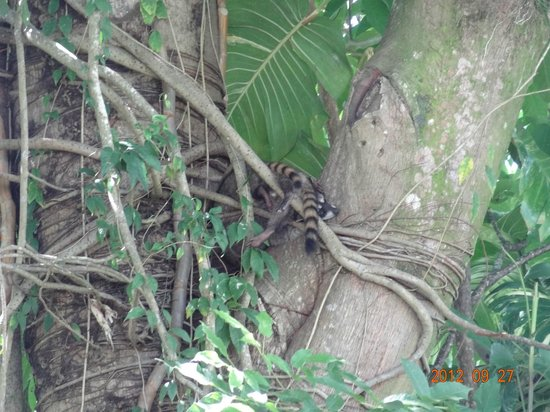 Hotel Karahe: Racoons on the top of  a tree