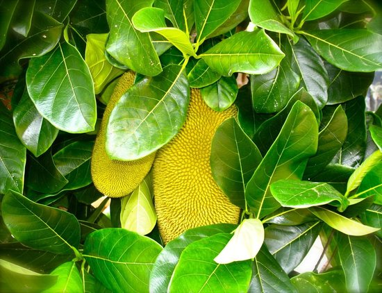 Kona Pacific Farmers Cooperative : Jackfruit on the self guided tour