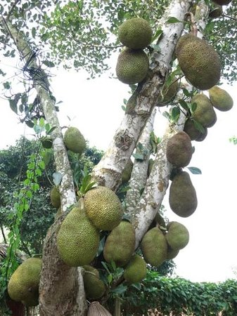 Moon Garden Homestay: jackfruit tree