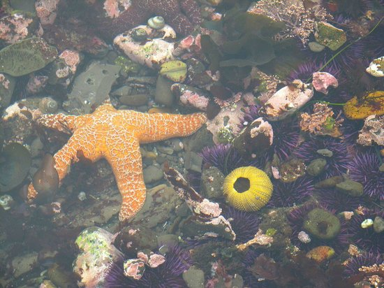 Fitzgerald Marine Reserve: Another sea star