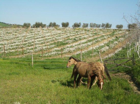 Emidio Pepe Country House: i nsotri cavalli nel vigneto biodinamico
