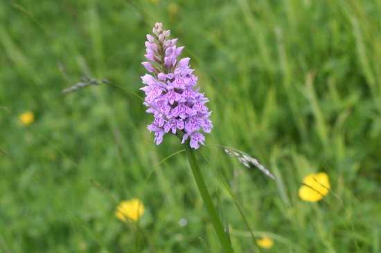 Abingworth Hall: Common Spotted Orchid, in the grounds