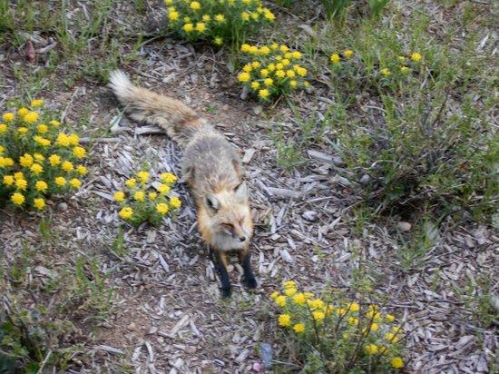 Grand Timber Lodge: Resort Fox