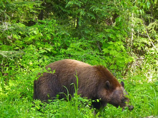 Clearwater Springs Ranch: bear near Dawsons Creek