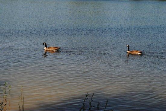 Bernheim Arboretum & Forest: Swans