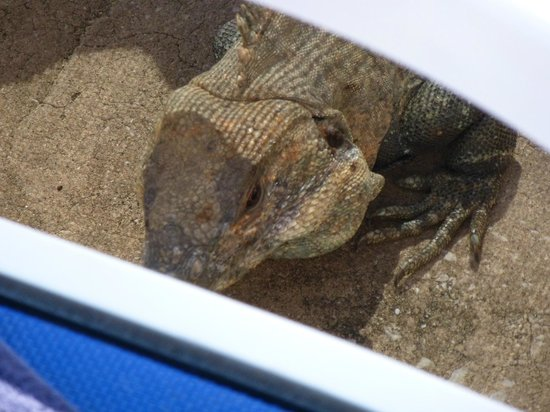 Occidental Tamarindo: our poolside visitor mr. iguana