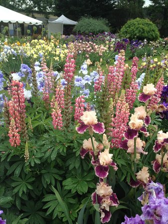 Schreiner's Iris Gardens: pink lupines and iris
