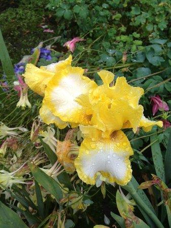 Schreiner's Iris Gardens: yellow and white iris
