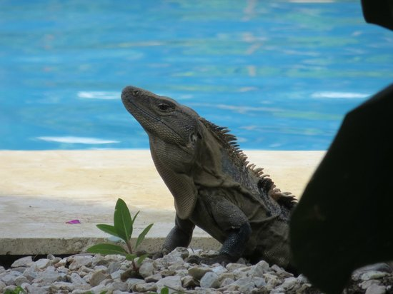 Hotel Villas Playa Samara: Local Wildlife on his way to Pool/Bar for a cherry or two....