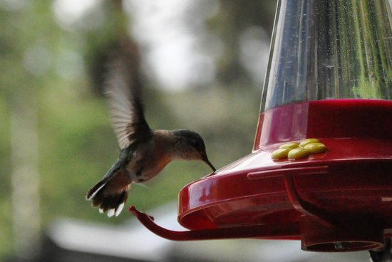 Mountain Springs Nature Retreat Lodging: Hummer!
