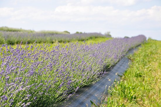 NEOB Lavender - Niagara Essential Oils & Blends: part of the three acres on site