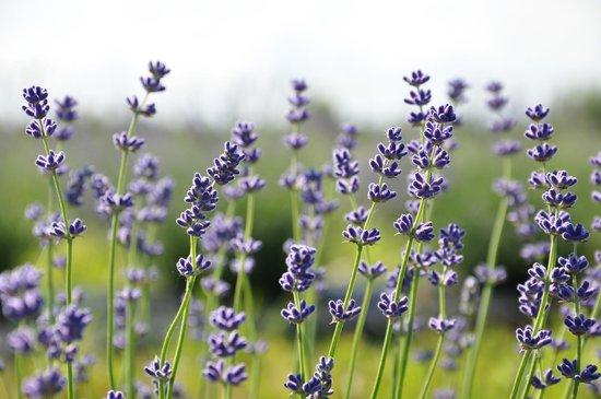 NEOB Lavender - Niagara Essential Oils & Blends: niagara lavender blooming in the field