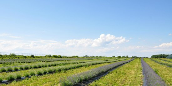 NEOB Lavender - Niagara Essential Oils & Blends : niagara lavender field