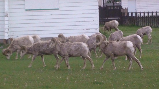 Waterton Glacier Suites: Herd of Big Horn Sheep Next Door
