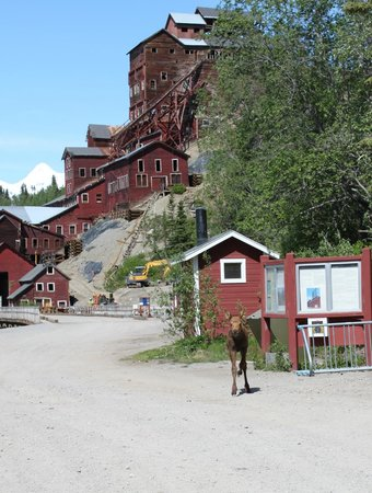 Kennicott Glacier Lodge: Baby moose running down village road