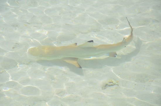 Gangehi Island Resort: friendly black tip babies everywhere