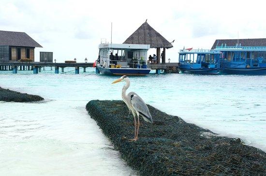 Gangehi Island Resort : friendly bird