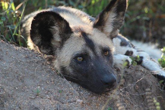 Simbambili Game Lodge : Wild dog