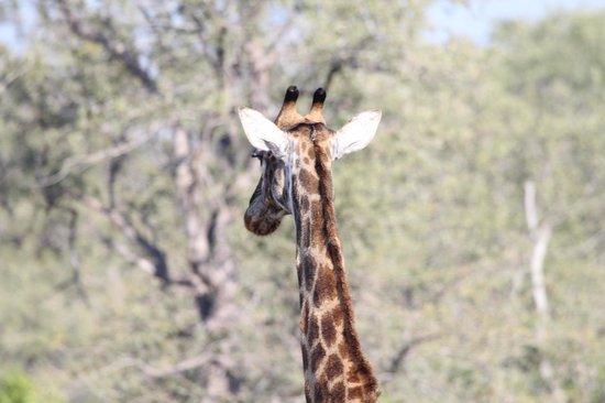 Simbambili Game Lodge : Giraffe
