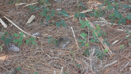 St. Joseph Peninsula State Park: Hispid Cotton Rat