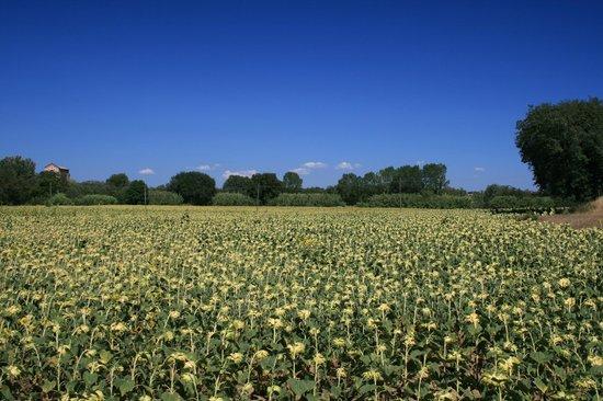 Castiglione della Valle, Italien: Sun flower field Casa Nestore