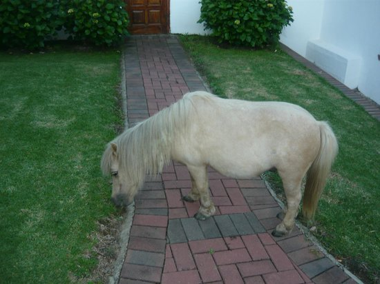 Blue Haze Country Lodge: Shetland Pony on our doorstep
