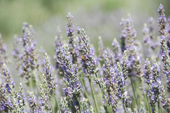 Highland Springs Resort and Conference Center: lavender fields