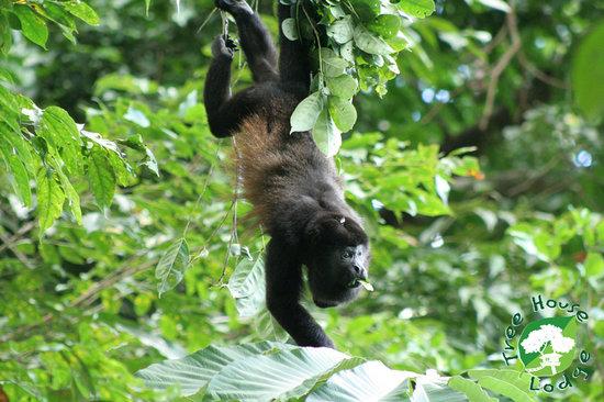 Tree House Lodge : monkeys at the tree house