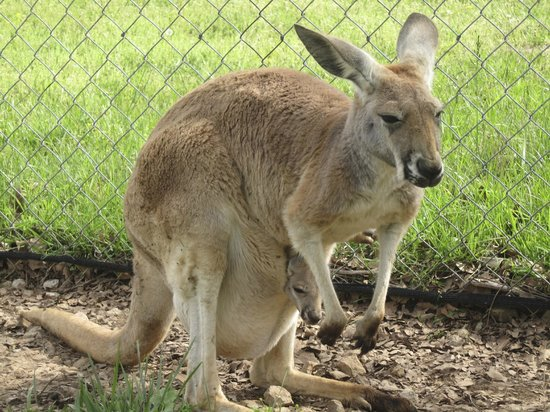Kentucky Down Under Adventure Zoo: A sweet kangaroo with a joey or Sheila in her pouch!