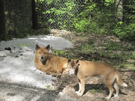 Kentucky Down Under Adventure Zoo: Dingo's!