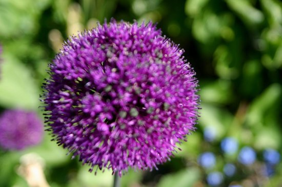 Cambridge University Botanic Garden: Allium