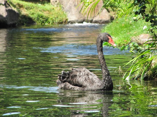 you will see this beautiful black swan when eating breakfast at Swan Court