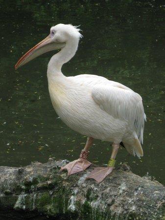 Augsburg Zoo: Pelikan
