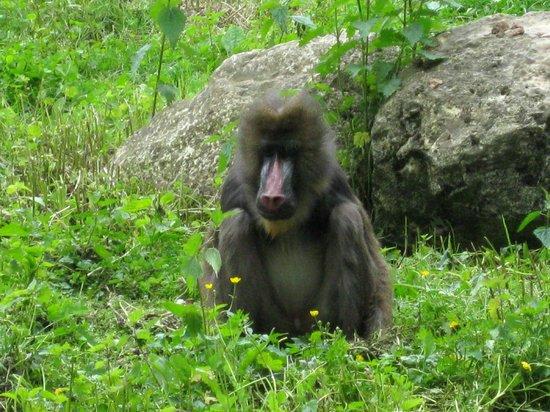 Augsburg Zoo: Mandrill