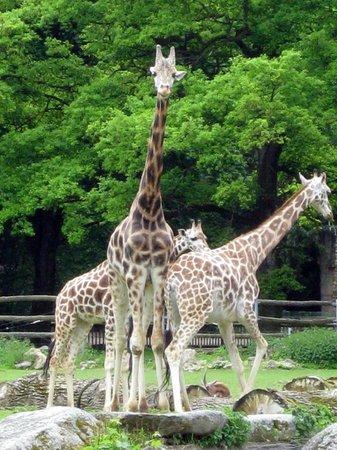 Augsburg Zoo: Rothschild-Giraffen