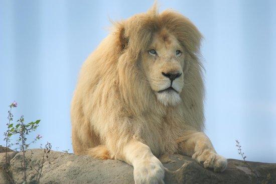 Sandown, UK: Caspar the very handsome white lion